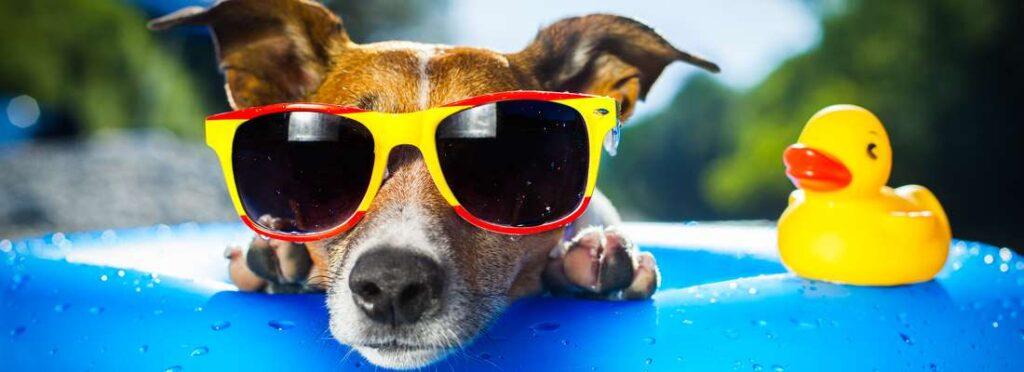 Hund am Pool mit Brille