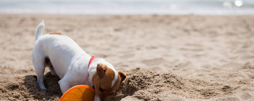 Jack-Russell Hund buddelt am Strand
